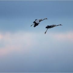Cranes in flight © André Torfs