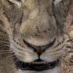 Leeuwinnetronie © Eric Colpaert
