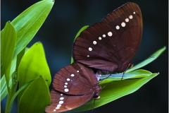 Aziatische vlinders © Jorn Brewaeys