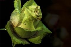 Fleur d'Amour © Robert Van Maele